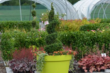 buxus-in-pot