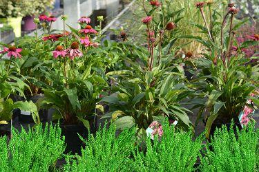 echinacea-planten