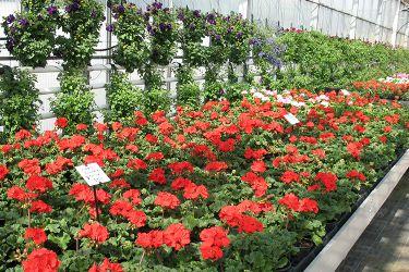 geraniums-zomer