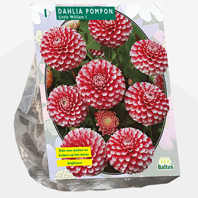 dahlia (Dahlia-Pompon-Little-William-per-1)