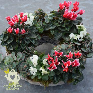 grafdecoratie-cyclamen-vetplanten