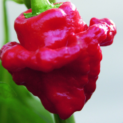 peper-caribische chili (Capsicum-chinense-Animo-Red)